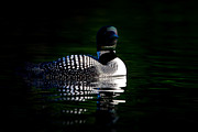 Jim Cumming - Common Loon