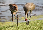 Cranes Prints - Concentration Print by Carol Groenen