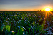 Cornfield Photos - Cornfield at Sunrise by Sean Landsman