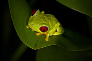 Carrie Cranwill - Costa Rica Tree Frog