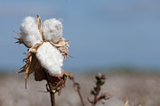 Boll Photos - Cotton Bolls  by Hagai Nativ