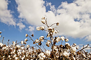 South Arkansas Prints - Cotton in the Sky Print by Scott Pellegrin