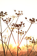 Paul Lilley Framed Prints - Cow Parsley at Sunset. Framed Print by Paul Lilley