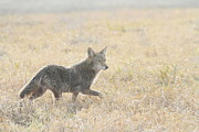 Backlit Prints - Coyote Print by Angie Vogel