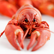 Red Claws Prints - Crawfish Print by Kati Molin