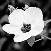 Mallow Photos - Crimson-eyed Mallow by Scott Pellegrin
