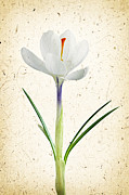 Parchment Posters - Crocus flower Poster by Elena Elisseeva