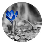 White Digital Art Posters - Crocus  Poster by Lyubomir Kanelov
