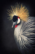 Grey Mixed Media Framed Prints - Crowned Crane Framed Print by Angela Doelling AD DESIGN Photo and PhotoArt