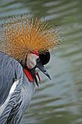 Crowned Crane Print by Skip Willits