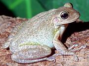 Cuban Tree Frog Osteopilus Print by Millard H. Sharp
