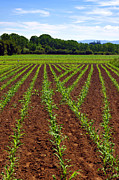 Corn Prints - Cultivated Land Print by Carlos Caetano