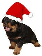 Puppies Digital Art - Cute Merry Christmas Puppy In Santa Hat  by Tracey Harrington-Simpson
