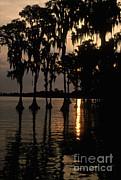 Cypress Swamp Print by Ron Sanford
