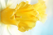 Mythja Posters - Daffodil close up Poster by Mythja  Photography