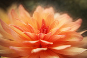 Dahlia Blooming Print by HJBH Photography