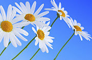 Closeup Posters - Daisy flowers on blue background Poster by Elena Elisseeva