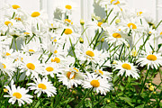 Nature Scene Originals - Daisy flowers by Tommy Hammarsten
