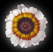Daisy Metal Prints - Daisy Metal Print by Tony Cordoza