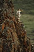 Ledge Prints - Dall Sheep Rams Perched On Rock Ledge Print by Doug Lindstrand