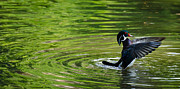 Bird Prints Photos - Dancer - Wood Duck by Laria Saunders