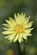 Flower Still Life Prints Prints - Dandelion Print by Ester  Rogers