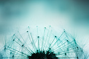 Mythja Posters - Dandelion seeds Poster by Mythja  Photography