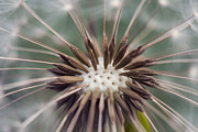 Gardening Photography Framed Prints - Dandelion - Vancouver Framed Print by May L
