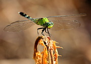 Dragonflies Art - Darling Green Eyes by Carol Groenen