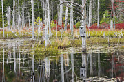 Pond In Park Prints - Dead Trees Reflecting On A Maine Beaver Pond Print by Keith Webber Jr
