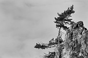 Pine Tree Photos - Defiant by Davorin Mance