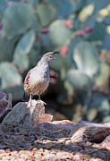 Quail Photos - Desert Quail III by Suzanne Gaff