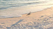 Craig Calabrese - Destin Fla Seagull