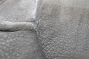 Indian Rhinoceros Posters - detail of the skin of an Indian rhinoceros in a zoo Netherlands Poster by Ronald Jansen