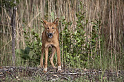 Wild Dog Framed Prints - Dingo in the Wild Framed Print by Douglas Barnard