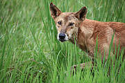Wild Dog Prints - Dingo in the Wild V3 Print by Douglas Barnard
