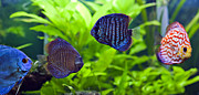 Discus Photo Prints - Discus fish Print by Brandon Alms