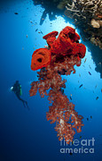 Water In Cave Posters - Diver Looks On At A Bright Red Soft Poster by Steve Jones