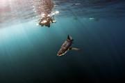 Greg Amptman - Diver with Blue Shark