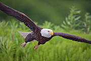 Bald Eagle Photo Framed Prints - Diving for Dinner Framed Print by Tim Grams
