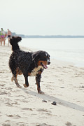 Dog Walks On Beach Print by Aleksey Tugolukov