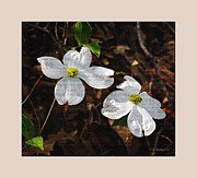Digitally Altered Floral Posters - Dogwood Blossoms Poster by Brian Wallace
