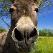 Donkey Print by Bernard Jaubert