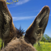 Mammals Prints - Donkeys ears Print by Bernard Jaubert