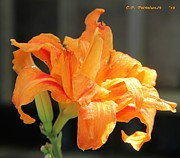 Carolyn Postelwait - Double Orange Daylily