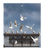 Peace Doves Framed Prints - Doves Framed Print by Mal Bray
