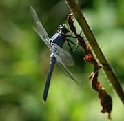 Insects Photos - Dragonfly in Square by Neal  Eslinger