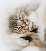 Cat Paw Posters - Dreamy Cat Awakens Poster by Diana Besser
