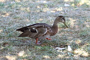 Duck - Animal - 01131 Print by DC Photographer