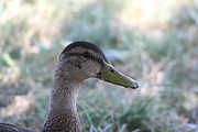 Wild Prints - Duck - Animal - 01134 Print by DC Photographer